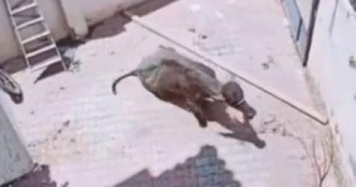 عجل يطارد 3 رجال قبل ذبحه بعيد الأضحى فى فيديو طريف على تيك توك