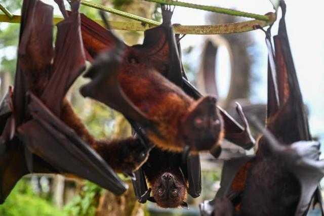 """ذعر قادم وتحذيرات.. البشرية على موعد مع """"كورونا""""جديدة سريعة الانتشار تنقلها الخفافيش"""